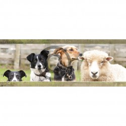 Working Dogs and Sheep